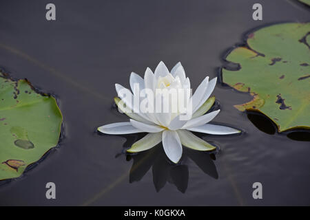 Delicate water lily floats artfully between two lily pads - Stock Photo