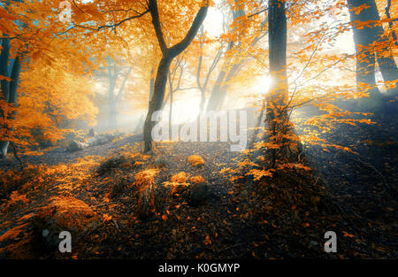 Magical old forest with sun rays in the morning. Amazing forest in fog. Colorful landscape with foggy forest, gold - Stock Photo