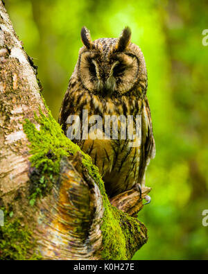 Long Eared Owl Perched On A Tree Branch - Stock Photo