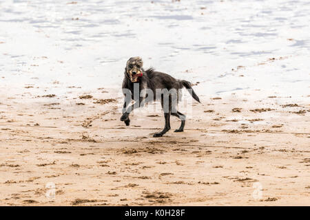 Who let the dogs out! Dogs on the beach exercising, playing, running, jumping and frolicking on beautiful summer's - Stock Photo