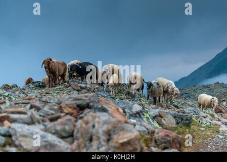 Senales/Schnals, South Tyrol, Italy. Since thousands of years the shepherd brings the sheep on the Giogo Basso (3016m) - Stock Photo