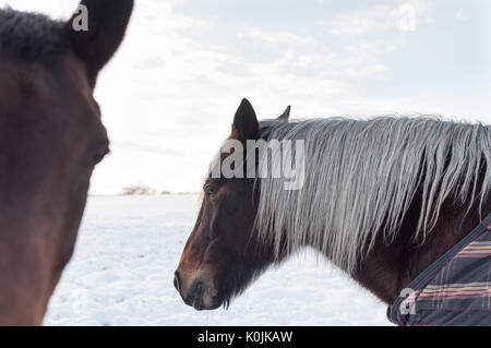 Two brown horses in a snowy field on a bright winter day. One of the horses has a grey mane and is wearing a blanket. - Stock Photo