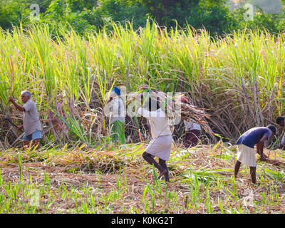 Indian farmers working in sugarcane field early in the morning near Hampi, Karnataka, India on 17 August,2016 - Stock Photo