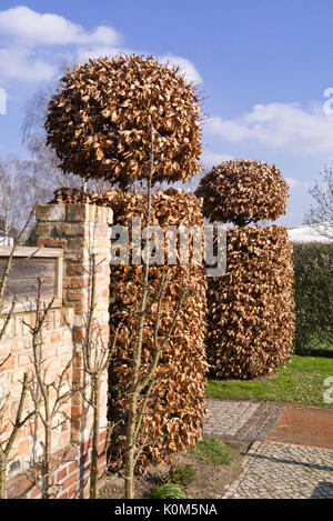 Common hornbeam (Carpinus betulus) - Stock Photo