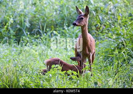 Capreolus capreolus, female Roe Deer feeding young fawn- baby deer.. Wildlife animals. Europe, Slovakia. - Stock Photo