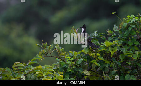 A Jacobin Cuckoo Bird Perched on a tree - Stock Photo