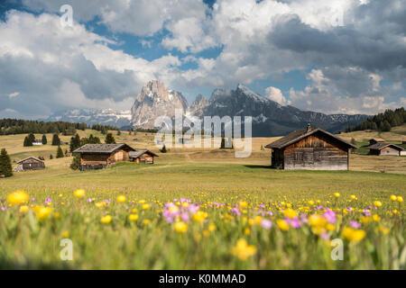 Alpe di Siusi/Seiser Alm, Dolomites, South Tyrol, Italy. Spring on the Alpe di Siusi with the peaks of Sassolungo/Langkofel - Stock Photo