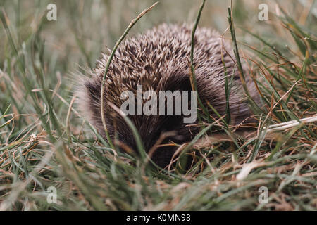 Small brown hedgehog in grassy meadow field - Stock Photo