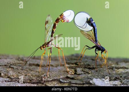 Ichneumon wasps, Megarhyssa macrurus lunator and Megarhyssa atrata lineata - Stock Photo