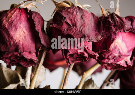 Close up of the drooping, dead flowerheads of red roses on stems. - Stock Photo