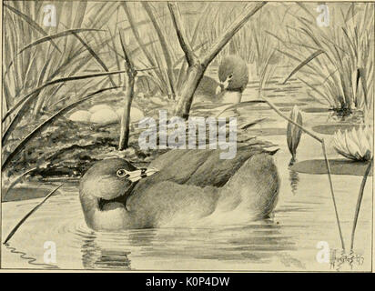 'Song birds and water fowl' (1897) - Stock Photo