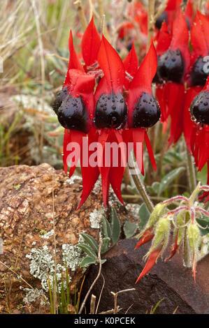 Sturt Desert Pea growing on the rocky ground in Western NSW. Normally growing in semi-arid regions of Australia, - Stock Photo