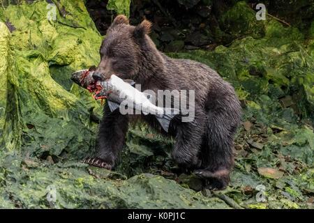 Coastal Brown (Grizzly) bear (Ursus arctos horribilis) carrying a salmon in Southeastern Alaska, USA.