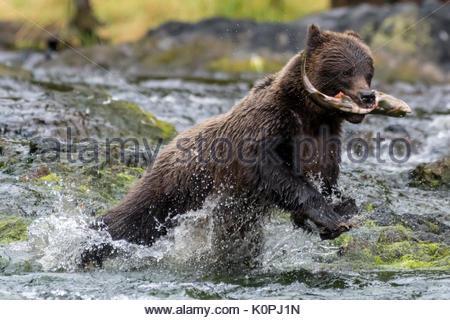 Coastal Brown (Grizzly) Bear (Ursus arctos horribilis) running through an Southeastern Alaskan river carrying a - Stock Photo