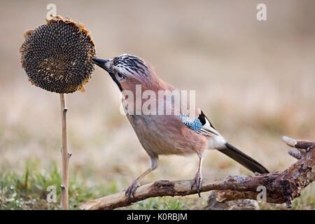 Eurasian jay - Garrulus glandarius, sitting on a branch and feeding the sunflower in nature. Wildlife. - Stock Photo