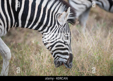 Burchell's zebra grazing in the Kruger National Park - Stock Photo