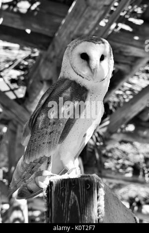 Barn Owl Perched on post in black and white - Stock Photo
