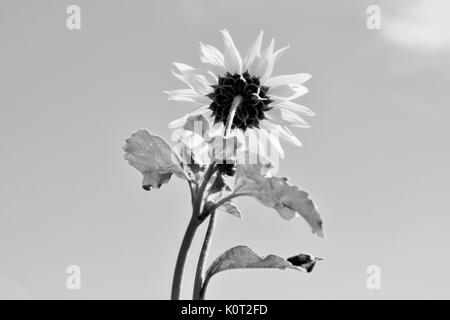 Sunflower with sky in background in black and white - Stock Photo