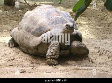 Aldabra giant tortoise (Aldabrachelys gigantea or Dipsochelys dussumieri) walking - Stock Photo