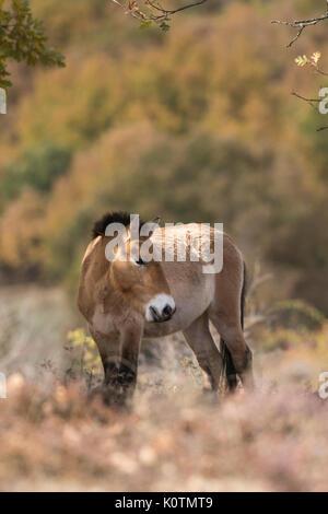Przewalski horse . Equus ferus przewalskii. - Stock Photo