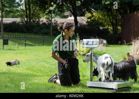 London, UK. 24th August, 2017. A zookeeper weighs pygmy goats during the annual weigh-in at ZSL London Zoo. Every - Stock Photo