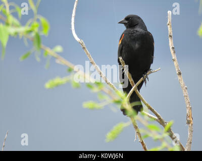 Wild male red-winged blackbird (Agelaius phoeniceus) perching on a tree in Northern Colorado, USA - Stock Photo