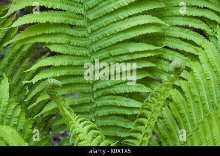 fern unrolling two new fronds - Stock Photo