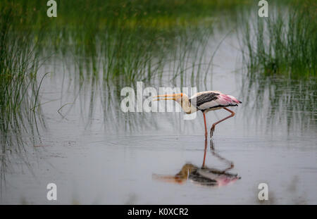 Painted with open beaks walking on water - Stock Photo