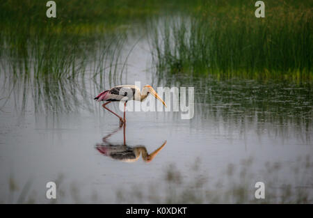Painted stork bird walking on shallow waters - Stock Photo