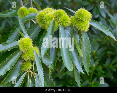 Sweet Chestnut Castanea sativa leaves and fruits in autumn - Stock Photo