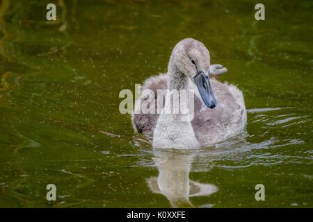 Cygnet swimming, baby swan - Stock Photo