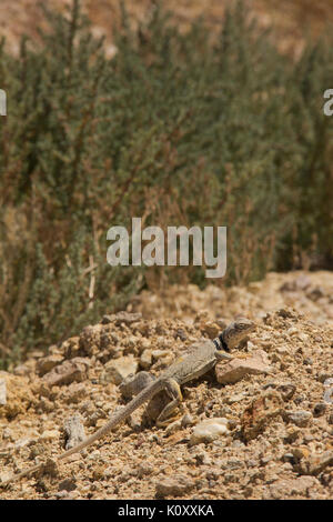 Side view of a Great Basin Collared Lizard (Crotaphytus bicinctores) basking on pebbles in the Tonopah Historic - Stock Photo
