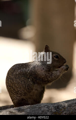 A California Ground Squirrel in Yosemite National Park, holding food Stock Photo