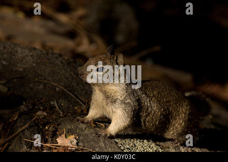 A California Ground Squirrel (Otospermophilus beecheyi), alert on a rock in the Yosemite National Park Stock Photo