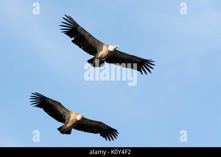 Two Griffon Vultures (Gyps fulvus) flying, Monfrague National Park, Extremadura,  Spain. - Stock Photo