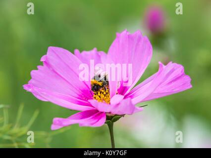 Pink Cosmos bipinnatus 'Sensation Mixed' (Sensation series) (AKA Mexican Aster or Garden Cosmos) in Summer with - Stock Photo