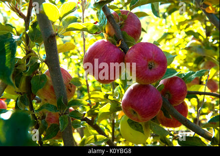 red apples,gala,apples - Stock Photo