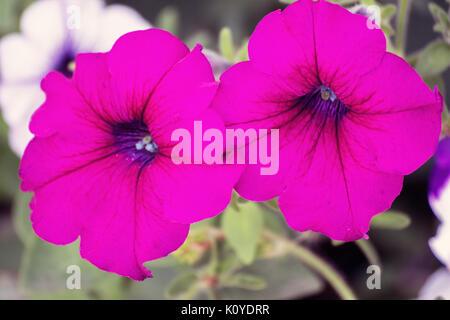 Flowers of pink petunia - Stock Photo
