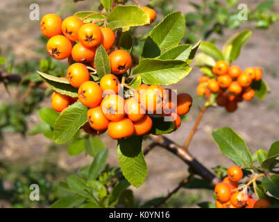 Pyracantha berry bush - Stock Photo