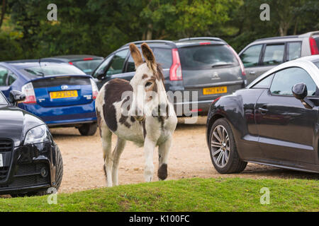 Donkey taking up car park space in car park at Rockford Common, Linwood, New Forest National Park, Hampshire, England - Stock Photo