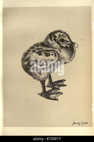 Birds from Moidart and elsewhere (Plate 85) (8510285921) - Stock Photo