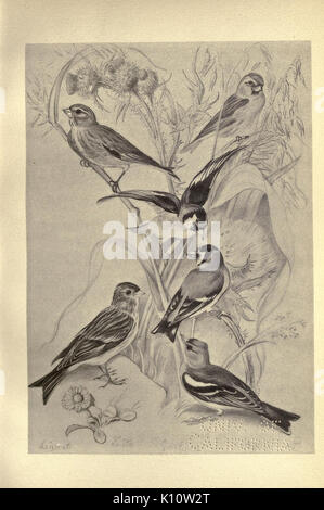 Birds from Moidart and elsewhere (Plate 40) (8511364516) - Stock Photo