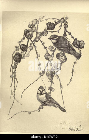 Birds from Moidart and elsewhere (Plate 32) (8511360258) - Stock Photo