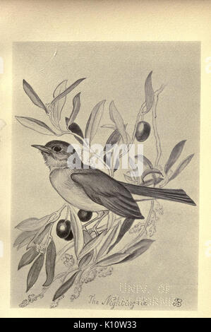 Birds from Moidart and elsewhere (Plate 31) (8510249809) - Stock Photo
