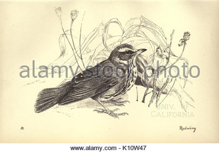 Birds from Moidart and elsewhere (Plate 19) (8511351802) - Stock Photo