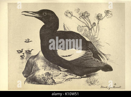 Birds from Moidart and elsewhere (Plate 74) (8511387082) - Stock Photo