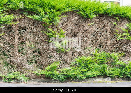 Conifer hedge with bare patches after cutting into old wood - Stock Photo