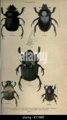Beetles (Plate 10) BHL22015734 - Stock Photo