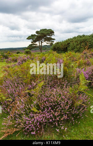 Lone pine tree with ling heather, Calluna vulgaris, and ferns at Bratley View, New Forest National Park, Hampshire, - Stock Photo