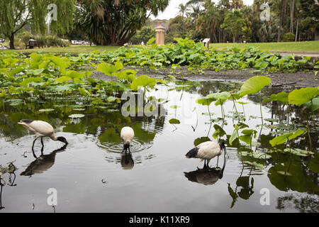 SYDNEY,NSW,AUSTRALIA-NOVEMBER 19,2016: Main pond at the Royal Botanic Gardens with three Australian White Ibis and - Stock Photo